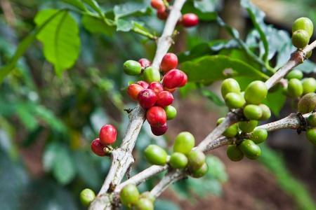 Coffee tree with ripe berries on farm, Bali island Stock Photo - 10085738