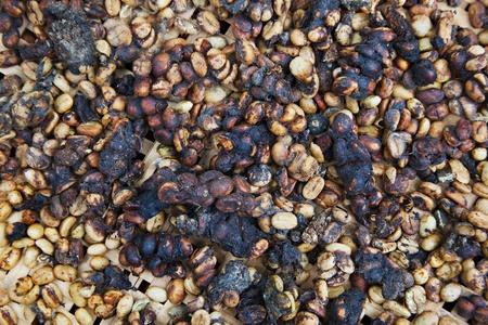 excrement: Kopi luwak o zibetto caff�, � una delle variet� pi� costosi e bassa produzione del mondo del caff�