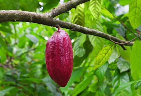 frijoles rojos: Árbol de cacao con vainas, isla de Bali, Indonesia