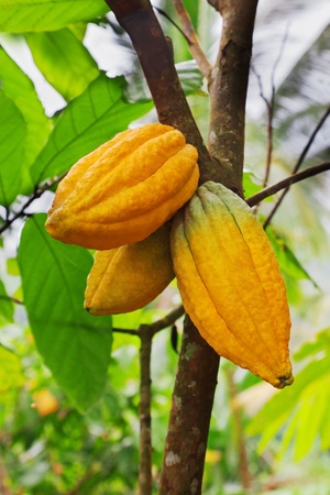cocoa bean: Cocoa tree with pods, Bali island, Indonesia Stock Photo