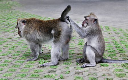 One monkey searching fleas from another monkey photo