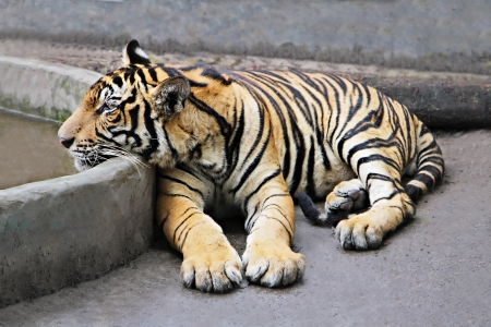 Lonely tiger in the zoo photo