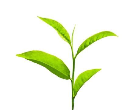Feuilles de thé sur un fond blanc Banque d'images