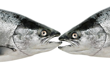 Salmon fish eat fish isolated on white Stock Photo - 17857626