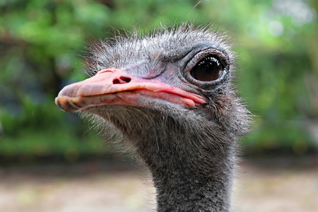 messy eater: Emu close up, outdoors, Thailand Stock Photo