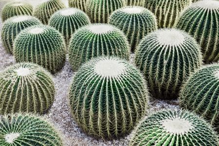 popularly: Echinocactus grusonii, popularly known as the Golden Barrel Cactus Stock Photo