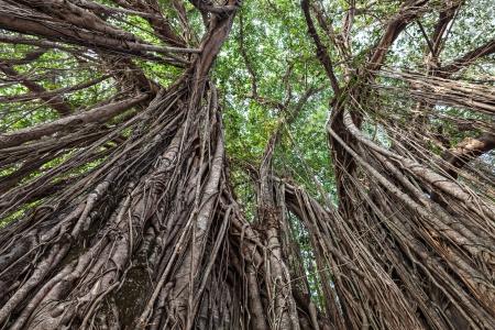 paz mundial: Muy gran árbol de higuera de Bengala en la selva