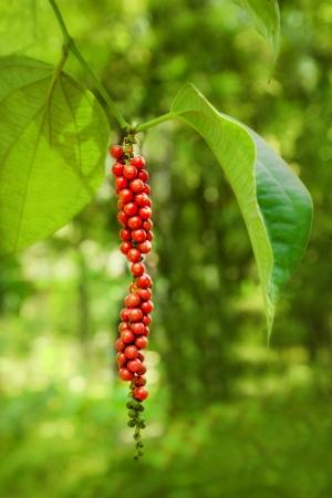black pepper: Ripe black pepper on the tree, species plantation Stock Photo