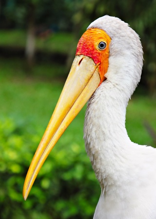 billed: Yellow billed stork in Kuala Lumpur Zoo Stock Photo