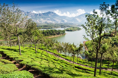 Tea plantation in Munnar, Kerala state, India