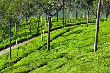 darjeeling: Tea plantation in Munnar, India Stock Photo