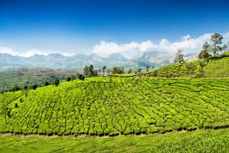 munnar: Munnar Tea plantation near Munnar town, Karnataka, India Stock Photo