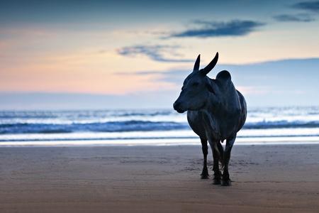 Big Stier-Silhouette auf der Goa Strand, Indien