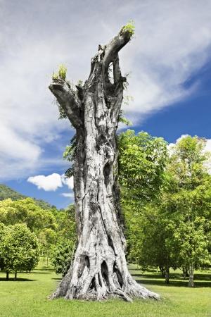 toter baum: Stump des riesigen Banyan-Baum Lizenzfreie Bilder