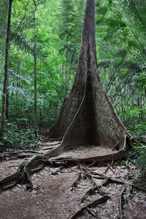 Buttress root tree in the jungle Stock Photo - 22100817