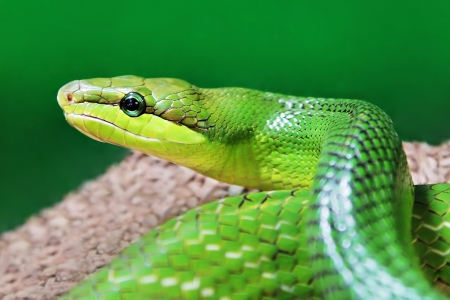 Beauty green snake close up Stock Photo - 22100843