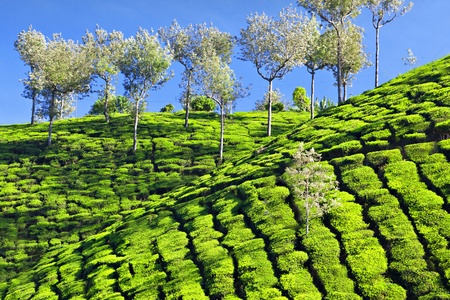 Tea plantation in Munnar, India photo
