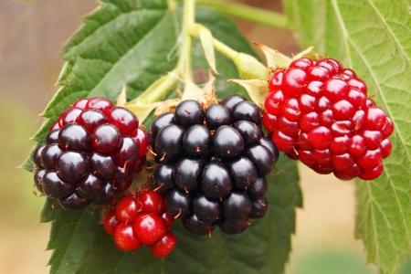 blackberry bush in the garden Stock Photo - 22100872