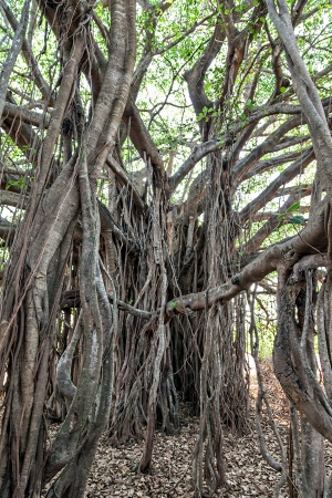 Very big banyan tree in the jungle Stock Photo - 22100974