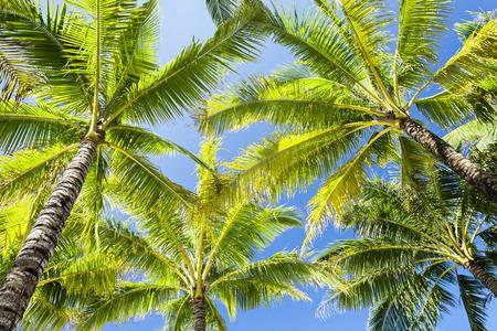 Beauty coconut palms on the blue sky background photo
