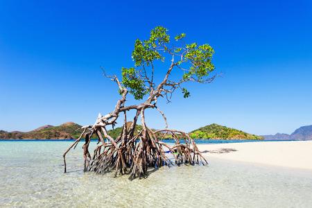 美しさのビーチでの孤独なマングローブ木