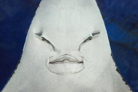 Stingray close up portrait in the aquarium Stock Photo - 28101380