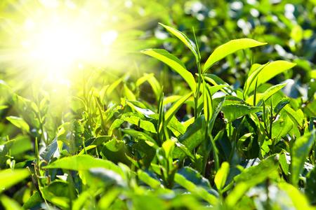 Tea leaves on plantation, India