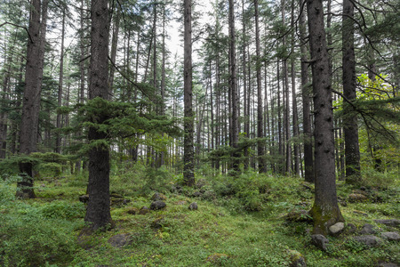 Beautiful pine forest in Manali, Himachal Pradesh, India