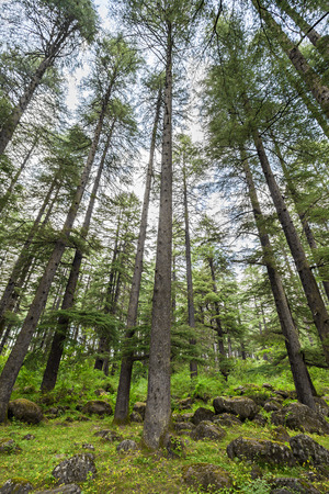 Beautiful deodar forest in Manali, Himachal Pradesh, India