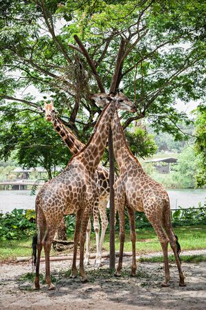 toed: The giraffe (Giraffa camelopardalis) is an African even toed ungulate mammal, the tallest of all extant land living animal species, and the largest ruminant.