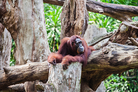 exclusively: The orangutans are the two exclusively Asian species of extant great apes
