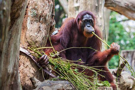 zoologico: Los orangutanes son las dos especies exclusivamente asiáticas de grandes simios existentes