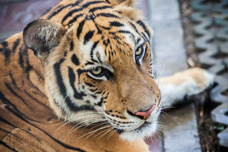 kingdom: Portrait of a big tiger in Thailand Stock Photo