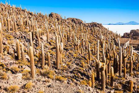 salt flat: Cactus island on Salar de Uyuni (Salt Flat) near Uyuni, Bolivia