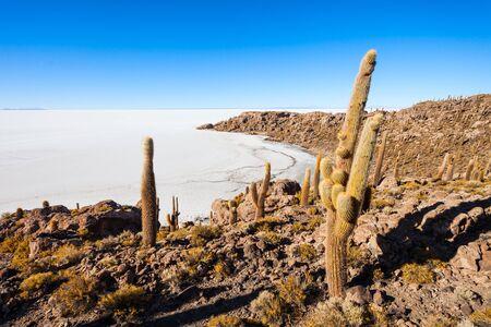salt flat: Very big cactuses on Cactus Island, Salar de Uyuni (Salt Flat) near Uyuni, Bolivia