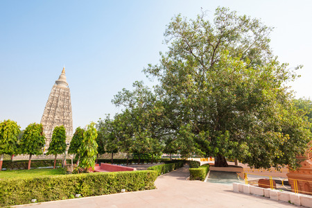 gaya: The Bodhi Tree is a large and very old sacred fig tree located in Bodh Gaya, India, under which Siddhartha Gautama Buddha is said to have attained enlightenment