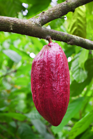 Cocoa tree with pods, Bali island, Indonesia 스톡 콘텐츠