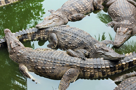 waiting posture: Many crocodiles relax in the water, Thailand