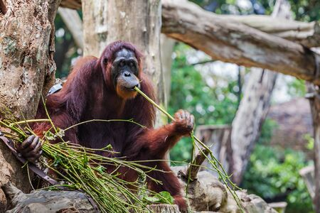 extant: The orangutans are the two exclusively Asian species of extant great apes
