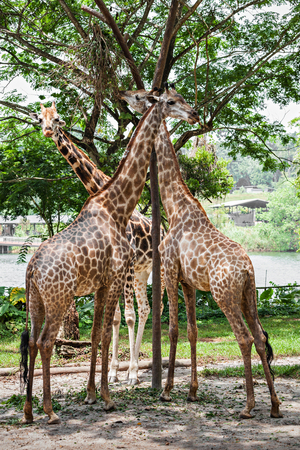 extant: The giraffe (Giraffa camelopardalis) is an African even toed ungulate mammal, the tallest of all extant land living animal species, and the largest ruminant.