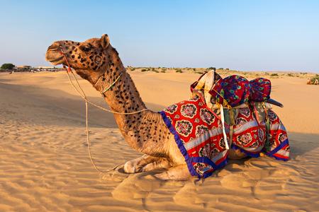 jaisalmer: Camels in Thar desert, Jaisalmer city in Rajasthan state of India