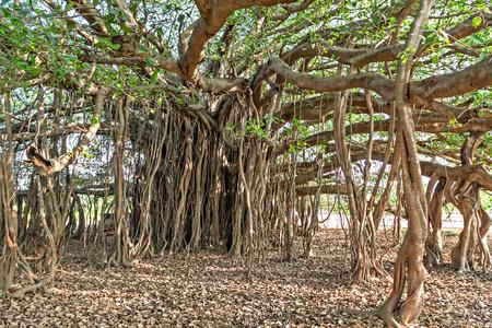planta con raiz: árbol de higuera muy grande en la selva Foto de archivo