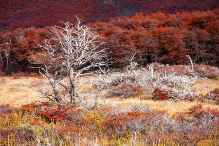 chalten: Beauty golden and red forest near the Fitz Roy. It is a mountain near El Chalten in the Patagonia, on the border between Argentina and Chile.