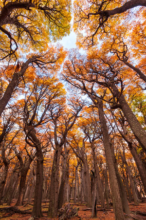 indian summer: Indian summer forest near the Fitz Roy in autumn. Fitz Roy is a mountain near El Chalten in Patagonia on the border of Chile and Argentina. Stock Photo