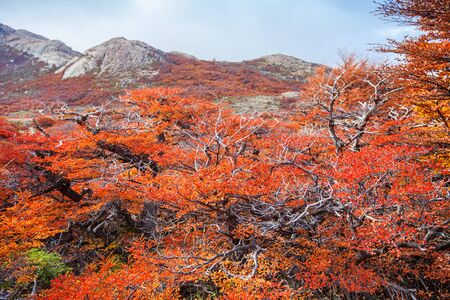 cerro fitzroy: Golden forest trees near the Fitz Roy in autumn. Fitz Roy is a mountain located near El Chalten in the Patagonia, on the border between Argentina and Chile.