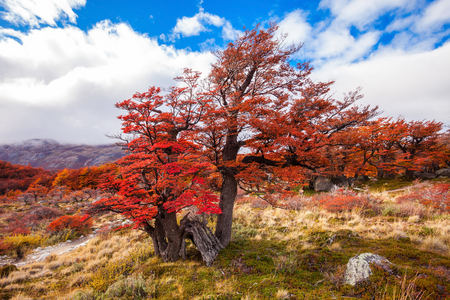 cerro chalten: Beauty golden and red forest near the Fitz Roy. It is a mountain near El Chalten in the Patagonia, on the border between Argentina and Chile.