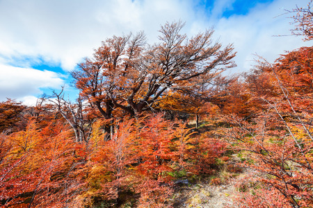 chalten: Golden forest trees near the Fitz Roy in autumn. Fitz Roy is a mountain located near El Chalten in the Patagonia, on the border between Argentina and Chile.