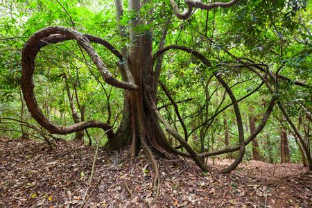 Giant Liana in Kandy Udawatta Kele Royal Forest Park or Udawattakele Sanctuary in the city of Kandy, Sri Lanka