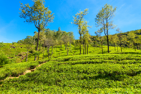 Nuwara Eliya tea plantation in Sri Lanka. Nuwara Eliya is the most important place for tea plantation and production in Sri Lanka. Stock Photo
