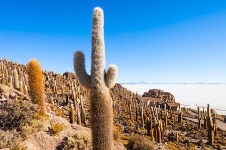 Very big cactuses on Cactus Island, Salar de Uyuni (Salt Flat) near Uyuni, Bolivia